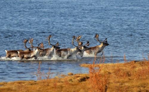 crossing the river deer