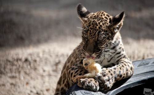 Story of jaguar and chicken. Photographer Vladislav Chernov. Novosibirsk