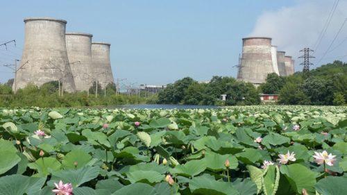 Lake Karasinoe with blooming lotuses. In the background - Artyomovskaya CHPP. August
