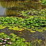 Lotus Lake Artyomovskoye