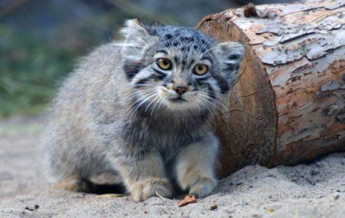 Pallas cat kitten in Daurian Steppe greatness
