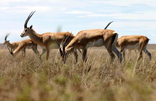 Daurian Gazelle