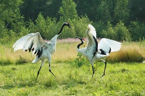 Daurian Steppe Reserve cranes