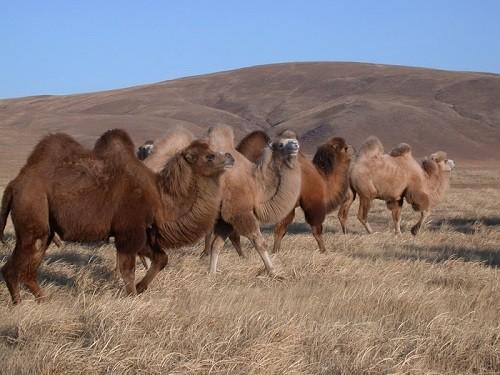 Daurian camels