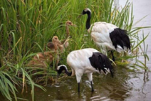 Daurian cranes