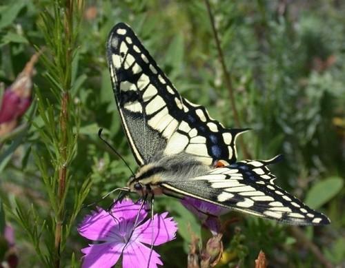 Daurian steppe butterfly