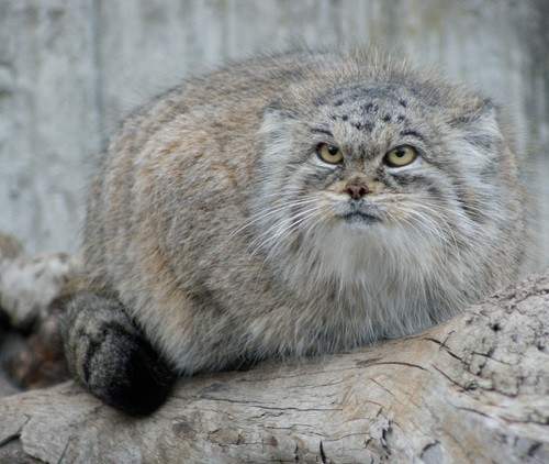 Daurian Steppe greatness. Daurian cat Manul