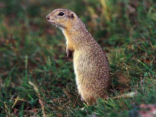Mongolian marmot or tarbagan