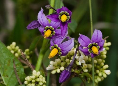 Solanum dulcamara, or bittersweet nightshade