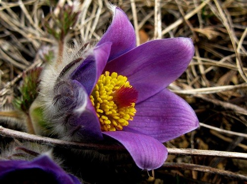 The flower of the steppe - Pulsatilla vulgaris