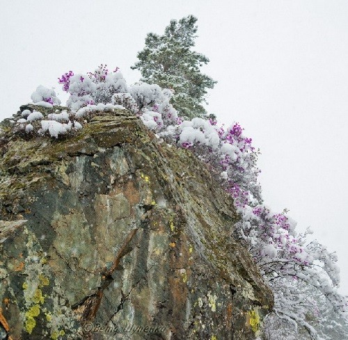 Blossoming under snow Siberian maralnik