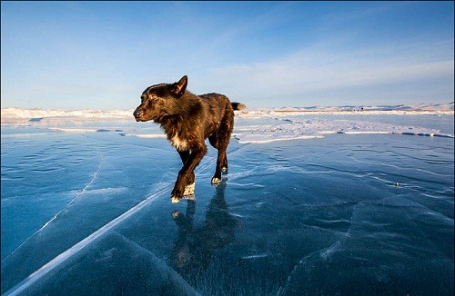 Dog walking on icy Baikal
