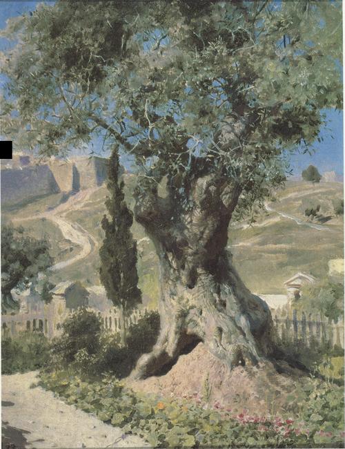 Olive Tree in Gethsemane Garden. 1882