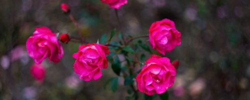Roses in Nikitisnky Park