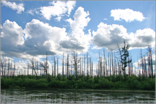 In the past dry years, there were many forest fires in Buryatia and Transbaikalia. The photo shows one of these places. There are dead burnt trees, and a new taiga is rising under them.