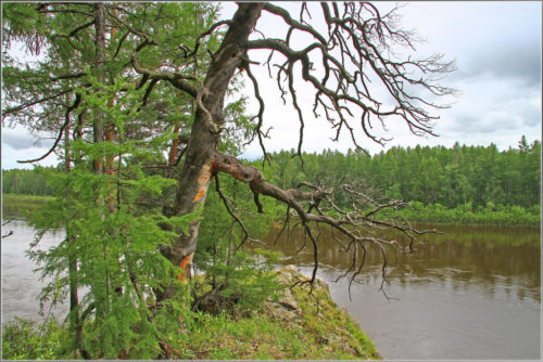 The tree bent over the Vitim river