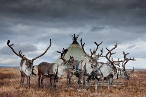 Yamal - Deer