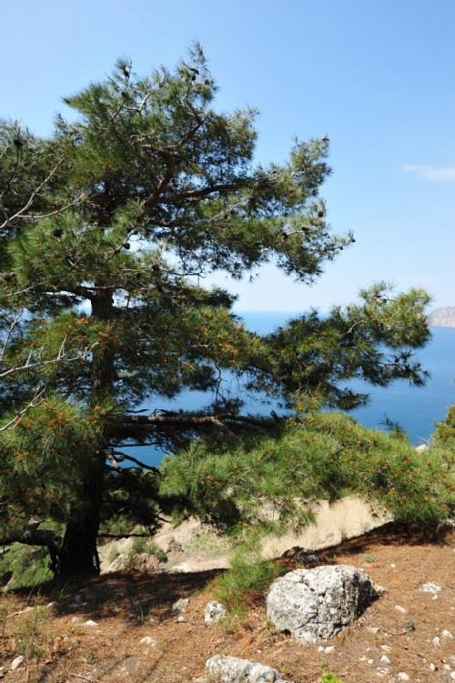 Crimea-Pine-Stankevich