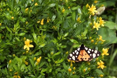 Karadag nature reserve. Shrub jasmine