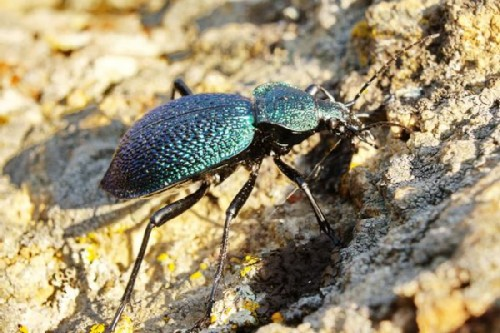 Crimean ground beetle
