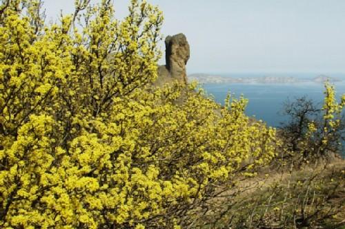 Karadag nature reserve. Cornelian cherry in the period of mass flowering