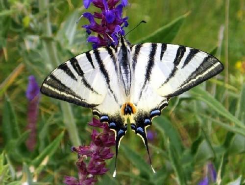 Butterfly Podaliry
